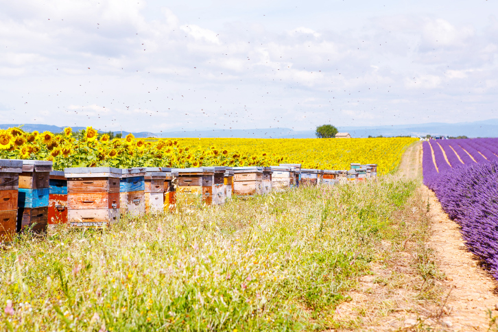 Image of Bee hives on lavender fields, near Valensole, Provence.
