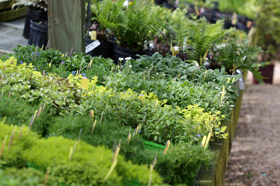 Organic herb and vegetable seedlings on display at a plant nursery garden center