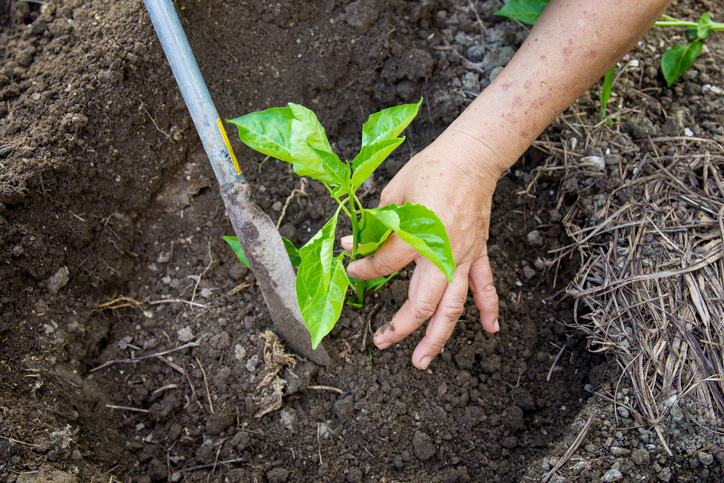 Image of hands planting