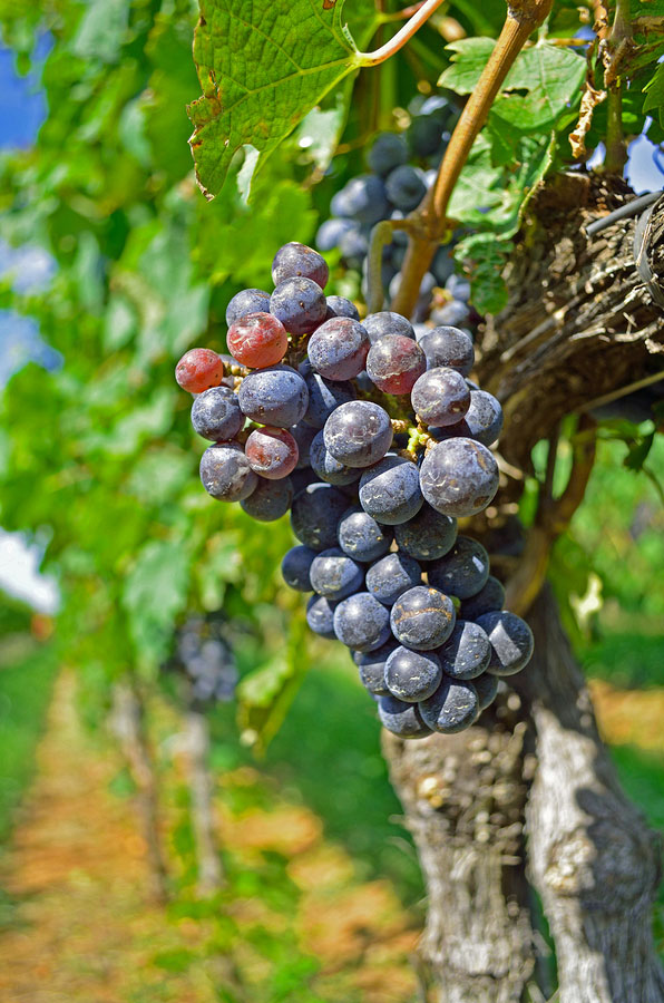 bigstock-Beautiful-Red-Wine-Grapes-on-t-110187989
