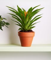 Potted plant on a shelf. Potted Miniature Rose and Bromelia Plan